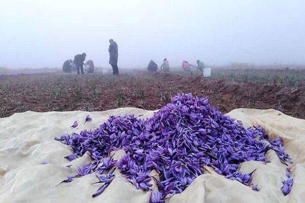 استحصال رنگ و طعم زعفران برای فراوری ریزپوشش توسط محققان کشور