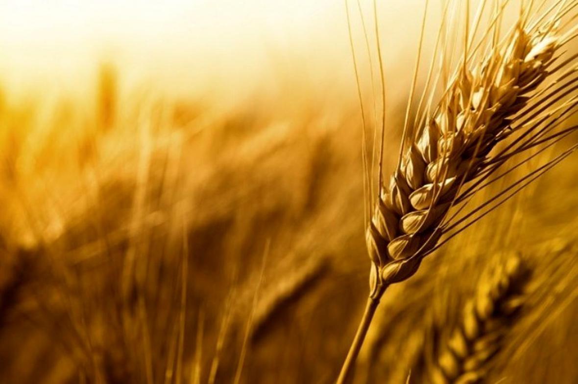 قیمت گندم و خوراک دام در بازار های جهانی بالا رفت