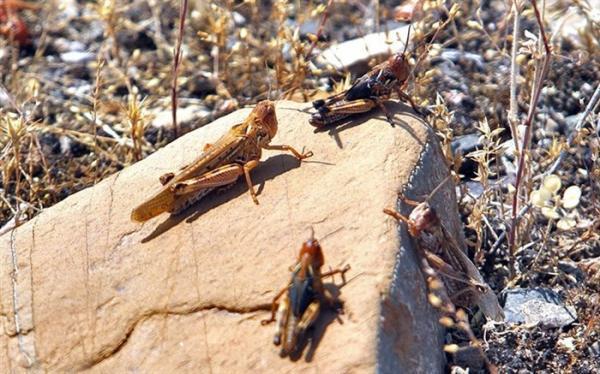 مبارزه با ملخ صحرایی در سطح 600 هزار هکتار تا تیرماه امسال
