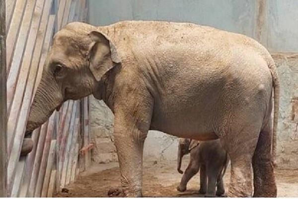 آخرین شرایط بچه فیل ارم و ماده گورخر آفریقایی صفادشت